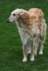 my boy (Muzik Hounds) Tags: borzoi russian wolfhound dog canine candid