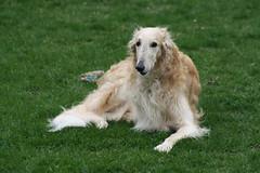 tired (Muzik Hounds) Tags: borzoi russian wolfhound dog canine candid