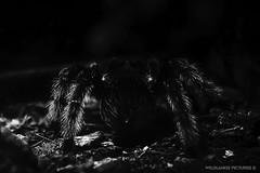 T a r a n t u l a (Crofter's) Tags: animals bw blackwhite black sony sonya sonyalpha sonyalpha77ii sonya77ii tamron tamron16300 tamron16300mm mygale tarantula shadows arachnida zoo crofterspictures wildlands wildlandspictures july july2016 2016 2k16 summer summer2016 proxy