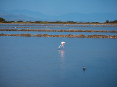 Italy - Sardinia - Saint Pietro Island - Pink Flamingos (Greg7579) Tags: italy sardinia