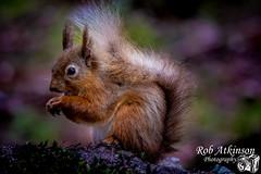 Red squirrel (R0BERT ATKINSON) Tags: powhill derwentreservoir durham red redsquirrel wildlife robatkinsonphotography nikond7100 sigma150500 northeastengland countryside