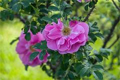 Roma, Roseto Comunale (adrianaaprati) Tags: romarosetocomunale roma rosetocomunale rome municipalrosegarden roses flowers april spring closeup