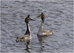 Crested Grebes (Charles Connor) Tags: greatcrestedgrebes crestedgrebes grebes birds divingbirds birdphotography exoticbirds waterbirds water nature naturephotography wildlifephotography wildlife wildbirds canon7dmk11 canonef100400mmmk2lens