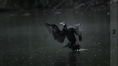 Cormoran (reginefoto) Tags: cormoran lake reserve nature nikon nikonphotography bird wildlife wildlifephotography grandcormoran fly photography naturephotography
