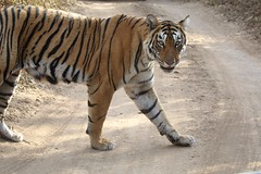 Bengal Tiger (Grosbeak Guy) Tags: tiger india wildlife photography anima