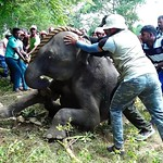 Young elephant with no strength helped by awesome people to stand up! Amazing attempts made! thumbnail