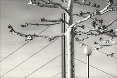 The three seagulls (Eva Haertel) Tags: eva haertel canon5dmarkiii stadt city stadtlandschaft cityscape schwarzweis sw blackandwhite bw monochrom detail brücke bridge baum tree kahl bare strasenlaterne streetlamp drei three vogel bird seagull himmel sky scene strase street deutschland germany düsseldorf rhein ufer rheinufer rhine river fluss