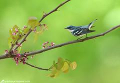 Cerulean warbler (geno k) Tags: ceruleanwarbler tennessee redbud bokeh dreamshot 4242019 tennesseeworkshop warblerwhisperer