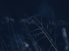 58372611_10216003959204347_1631354284123619328_n (jencsi) Tags: botanicals plants nature woods sticks weeds dark photography