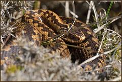 Female Adder (image 1 of 3) (Full Moon Images) Tags: rspb minsmere wildlife nature reserve reptile female adder