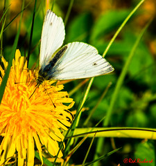 Butterfly (red.richard) Tags: butterfly closeup flower dandelion grass nikon d800