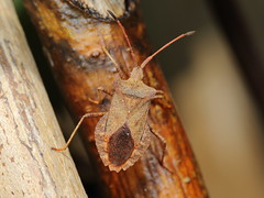 EOS 7D Mark II_082753 (Gertjan Kamsteeg) Tags: macro animal bug insect invertebrate truebug coreidae heteroptera coreusmarginatus dockbug heteropteran wants zuringwants lederwants zuringrandwants fluweelbruinerandwants coreidbug leaffootedbug randwants