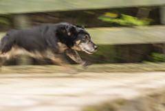 Dog Panning [explored] (Christine Schmitt) Tags: panning motionblur 2019p52 dog running