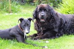 Harry & Megan (Kay Musk) Tags: megan harry newfoundland lurcher puppy dog pet nikond3200 garden spring 2019