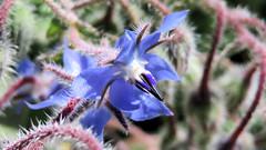 Komkommerkruid/Bernagie (Meino NL) Tags: komkommerkruid bernagie borago boraginaceae ruwbladigenfamilie plant voorjaar spring lente costabrava bloem flower