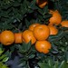 Citrus myrtifolia - chinotto