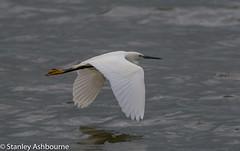 Little Egret. (stanley.ashbourne) Tags: littleegret bird nature wildlife water stanashbourne wildlifephotography farmoor oxfordshire