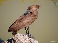 Hamerkop Scopus u. umbretta (nik.borrow) Tags: bird hamerkop ngorongoro