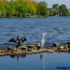 Enjoying the sun - Alster, Hamburg (PortViewR) Tags: greyheron cormoran