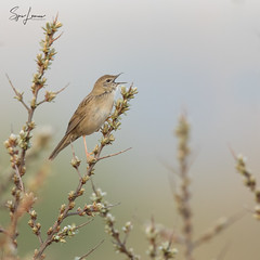 Sprinkhaanzanger / Grasshopper Warbler - 6633 (Sjors loomans) Tags: sprinkhaanzanger sjorsloomans outdoor holland nederland bird birds natuur nature natuurfotografie wildlife wood naturephotography natural animal water macro yellow sunrise europe green spring outside feldschwirl locustelletachetée locustellanaevia grasshopperwarbler