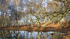 New Forest NP, Hampshire, UK (east med wanderer) Tags: england hampshire uk newforestnationalpark nationalpark pond lyndhurst silverbirches woodland betulapendula oak water bracken winter