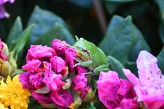 DSC_3969 (griecocathy) Tags: macro grenouille fleurs boutons feuille vert jaune rose brun crème