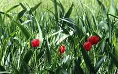 Among the weeds... (Team Hymas) Tags: tulips red green columbiariver gorge spring flowers washington teamhymas