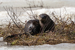 River Otter (stitchersue) Tags: riverotter lake sunshine watching algonquinpark ontario canada
