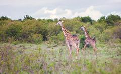 Juvenile Giraffes (Dan Haug) Tags: giraffe maasaimara gamereserve wild ontherun africa kenya safari canon 5dmkii ef70200mmf28lisusm archives october 2011 giraffacamelopardalistippelskirchi juvenile free freedom explore explored