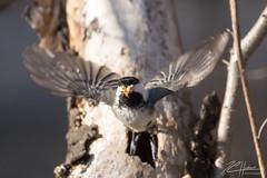 Cleaning up ! (LASCAR35) Tags: 100400isiil blackcappedchickadee mésangeàtêtenoire parccharbonneau 80d canon dslr bird birding