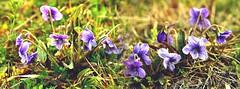 violet-01スミレ (itsuo.t) Tags: flowers blueflowers violet wildflower wildgrass flowersinspring スミレ