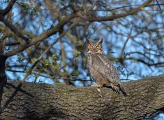 Great Horned Owl._008 (Estrada77) Tags: greathornedowl owl horned raptors distinguishedraptors birdsofprey perched wildlife outdoors birds birding nature nikon nikond500200500mm kanecounty animals
