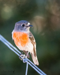 Female Scarlet Robin (Jennie Stock) Tags: scarletrobin petroicaboodang femalebird bridgetown