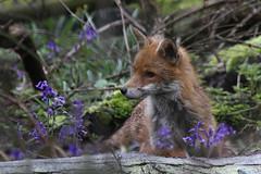 IMG_5230-Reworked (superbrad-) Tags: superbrad superbradphotos ianbradley derbyshire oakwood derby chaddesdenwood fox foxcub cub wood