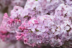 Lilas (Croc'odile67) Tags: nikon d3300 sigma contemporary 18200dcoshsmc fleurs flowers printemps spring fruhling lilas nature