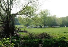 Ponies along the Loddon Lily Walk, April 2019 (1) (karenblakeman) Tags: readinggreendrinkswalk loddon berkshire uk april 2019 ponies tree field