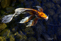 Koi (mariola aga) Tags: pond water light ripples stones fish koi portrait closeup