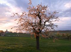 blühender Kirschbaum im abendlichen Sonnenlicht bei Schlosswil (Martinus VI) Tags: sonnenuntergang sunset sundown atardecer puesta de sol coucher du soleil tramonto schlosswil kanton canton bern berne berna berner bernese schweiz switzerland suisse suiza svizzera swiss y190426 martinus6 martinus6xy martinus april avril cherry tree cerise arbre cerezo ciliegio