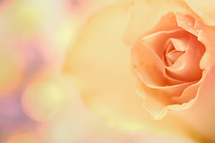 Colour me Saturday (Barrie T) Tags: dreamscancometrue colour bokeh rose closeup macro home canoneos6dmarkii dreamy soft pastel verträumt pastell weich