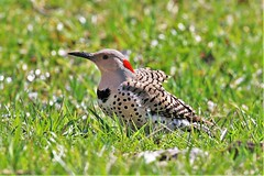 """""""Ant Eater"""" (Jan Nagalski (off, surgery)) Tags: bird woodpecker flicker northernflicker yellowshaftedflicker nature wildlife grass green ants anthill spring april spotted red lakestclair metropark southeastmichigan michigan jannagalski jannagal"""