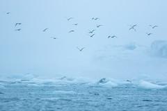 Jökulsárlón Gulls (craig.denford) Tags: jökulsárlón glacial lagoon iceland gull craig denford canon 7d mark ii manfrotto