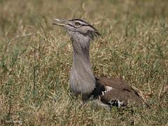 Kori Bustard Ardeotis kori struthiunculus (nik.borrow) Tags: bird bustard ngorongoro