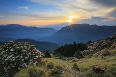 合歡山杜鵑花季與日出(Alpine Rhododendron season with sunrise @ Hehuanshan)。 (Charlie 李) Tags: alpinerhododendrons hehuanshan sunrise 日出 東峰 玉山杜鵑 高山杜鵑花 合歡山