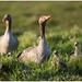 Familie grauwe gans in het warme ochtendlicht - Greylag Goose (Anser anser)