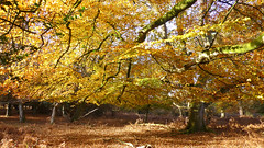 New Forest NP, Hampshire, UK (east med wanderer) Tags: england hampshire uk newforestnationalpark nationalpark forest woodland beech bracken markashwood autumn