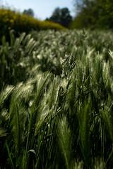 MAG_3853 (emme_ro) Tags: natura natural nature grain grano spighe verde primavera spring field campo nikon nikond7200