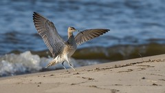 Whimbrel (JS_71) Tags: nature wildlife nikon photography outdoor 500mm bird new spring see natur pose moment outside animal flickr colour poland sunshine beak feather nikkor d500 wildbirds planet global national wing eye watcher