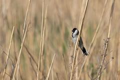 Emberiza schoeniclus (gelein.zaamslag) Tags: holland thenetherlands zeeland zeeuwsvlaanderen zaamslag nature naturalbeauty birdsinthewild birds rietgors geleinjansen nikond5500