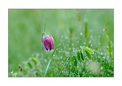 Schachblume (Fujigraf) Tags: blume sonne schach blüte zeit sinntal gras wasser feucht halm farbe fuji xt3 56mm