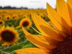 il Girasole (2)  / the Sunflower (2) (Eugenio GV Costa) Tags: fiore fiori macro flower flowers wildflower sunflower girasole